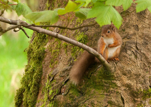 Red Squirrel Webpage small